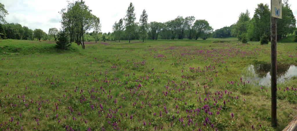 Die Orchideenwiesen in voller Blüte, Foto: TiB