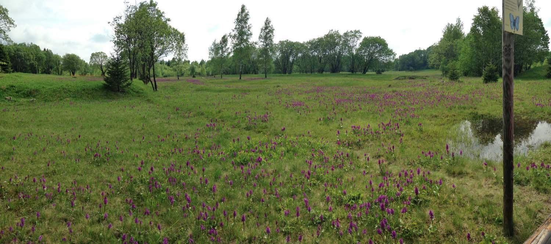 Die Orchideenwiesen in voller Blüte